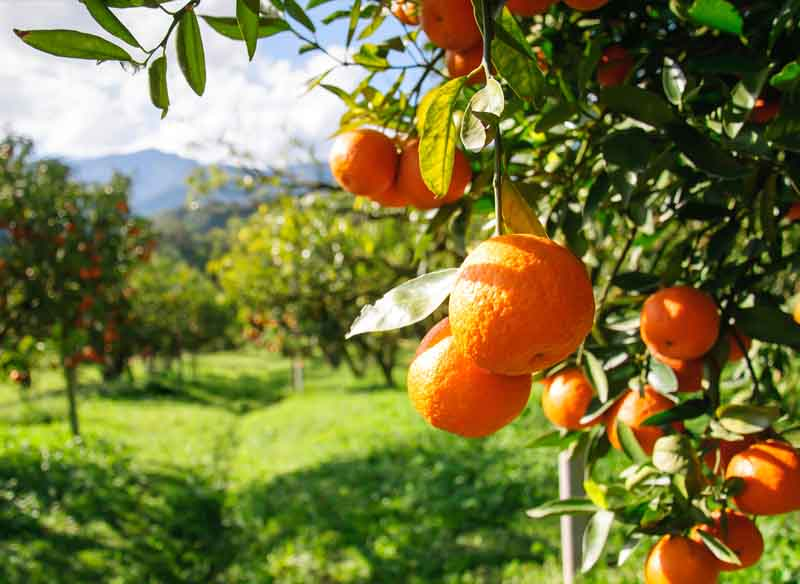 orange in kanthallur
