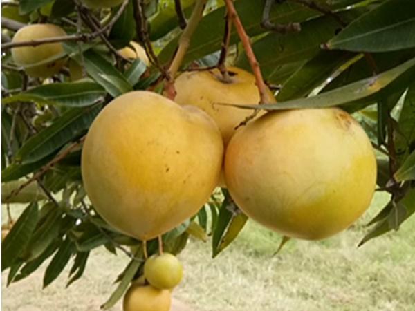 kuttiyattoor mango