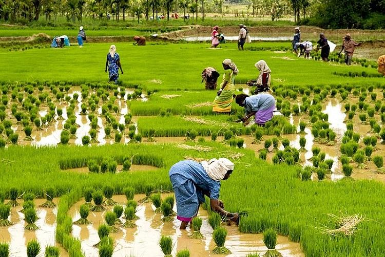 Paddy cultivation in Kerala