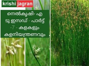 നെല്കൃഷി- എ ടു ഇസഡ് (Paddy cultivation- A to Z ) പാര്ട്ട് -7 - കളകളും കളനിയന്ത്രണവും